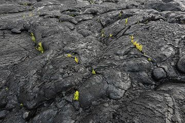 Green dots on the gray-silvery pahoehoe. (Photo: Tom Pfeiffer)