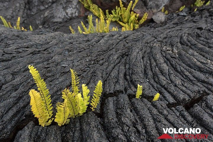 Ferns are among the first plants to colonize new lava flows - here one on Kilauea, Hawaii, erupted about 30 years ago. (Photo: Tom Pfeiffer)