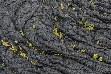 Ferns inside ropes of pahoehoe (Photo: Tom Pfeiffer)