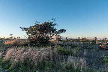 Grass and a lone ohia tree near the rim of Kilauea volcano's caldera in the morning (Photo: Tom Pfeiffer)