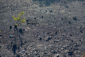 Ohia tree baby living on gravelly ground on the caldera rim of Kilauea (Photo: Tom Pfeiffer)