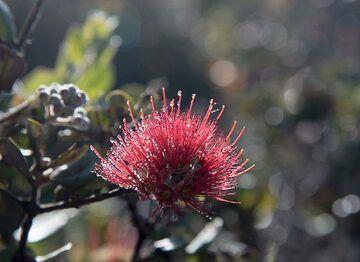 The beautiful Lehua blossom of the Ohia tree. (Photo: Tom Pfeiffer)