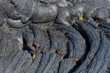 Contact of the young g61 lava flow (formed after July 2016 in this area) with the lava flow surface a few years older, and already inhabited by the first plant settlers, tiny ferns. (Photo: Tom Pfeiffer)