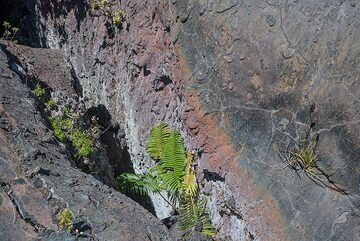 Ferns grow in the once lava-spewing fissure of the Mauna Ulu eruption which had started in 1969. (Photo: Tom Pfeiffer)