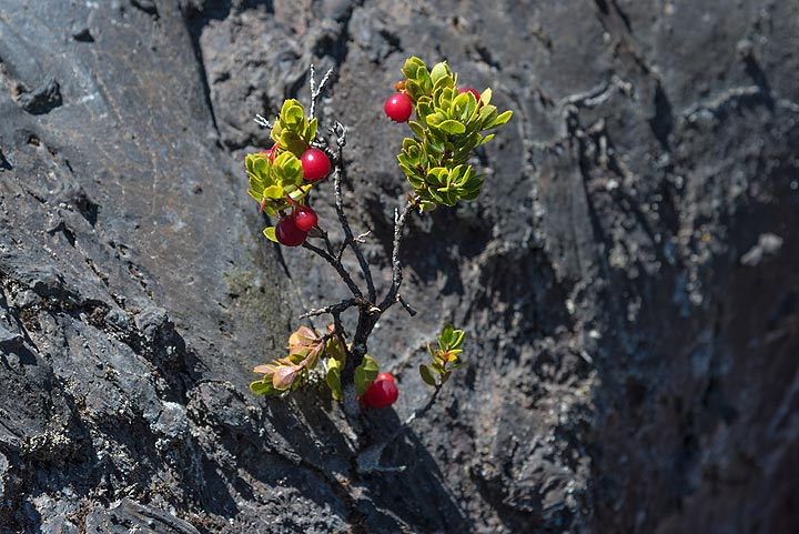 Small Ohelo berry living on the steep side of a section on the frozen eruptive fissure formed early during the 1969-74 Mauna Ulu eruption of Kilauea volcano. (Photo: Tom Pfeiffer)