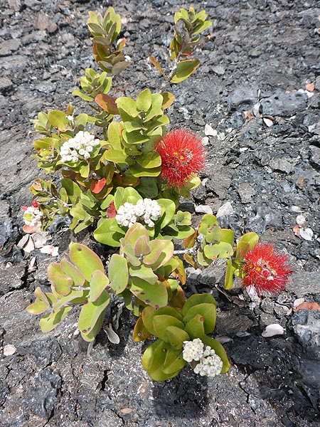 Day 2: Ohia lehua is a pioneer species on new lava and is hence the dominant tree in most mature Hawaiian forests. (Photo: Ingrid Smet)
