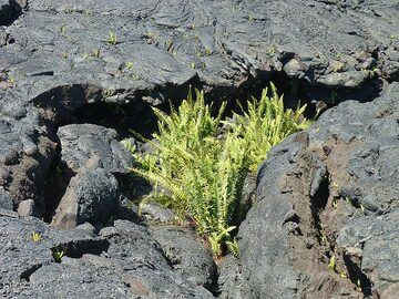 day 5: Ferns are already finding spots to grow within the cracks of the 2 year young lava flow (Photo: Ingrid Smet)