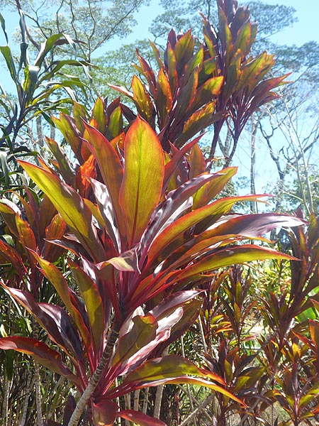 Day 5: The ti plant was brought to Hawaii by the Polynesian settlers due to its versatile uses. It comes in many colours and shades and is planted every for good luck. (Photo: Ingrid Smet)