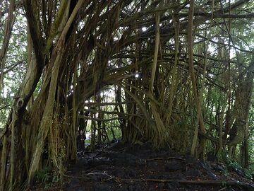 Day 6: Interesting mangrove like trees at Rainbow Falls (Photo: Ingrid Smet)