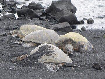 Extension day 1: Green sea turtles at Black Sand Beach (Photo: Ingrid Smet)