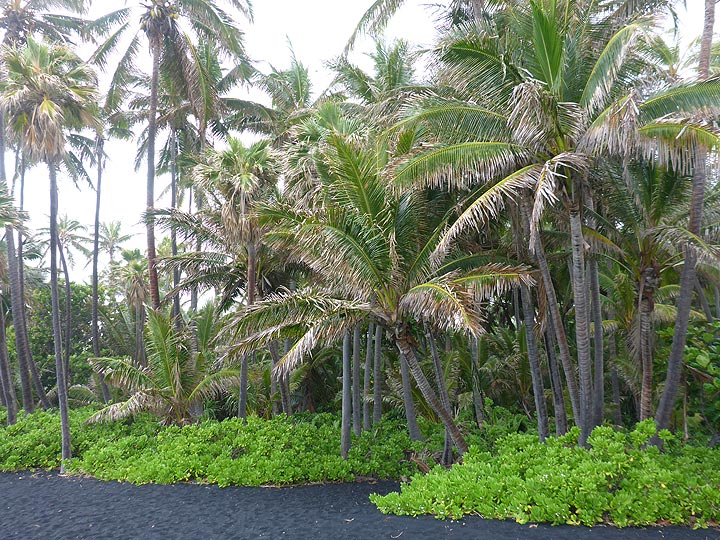 Extension day 1:Typical Hawaiian beach with black volcanic sand and palm trees (Photo: Ingrid Smet)