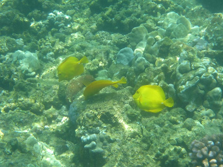 Extension day 3: Within a few metres of the shoreline there is a colourful world of corals and fish such as these yellow tang fish (Photo: Ingrid Smet)