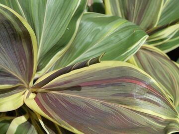 Extension day 4: Beautiful texture and colours of ti plant leaves in the Hawaii Tropical Botanical Garden (Photo: Ingrid Smet)
