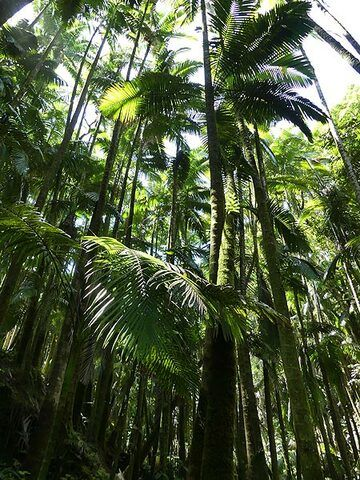 Extension day 4:Canopy of palm trees in the Hawaii Tropical Botanical Garden (Photo: Ingrid Smet)