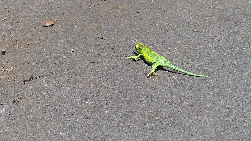 Extension day 5: Jackson´s chameleon crossing the road (Photo: Steven Van den Berge / Lana Van Heghe)