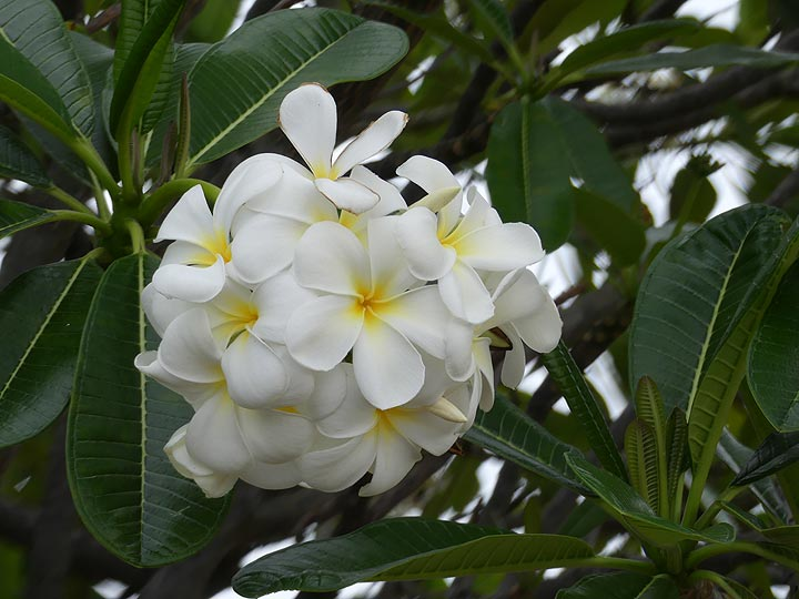 Extension day 5: Although not native to Hawaii, the colourful and beautifually fragrant Plumeria trees are found everywhere and their flowers one of the many symbols of the Big Island (Photo: Ingrid Smet)