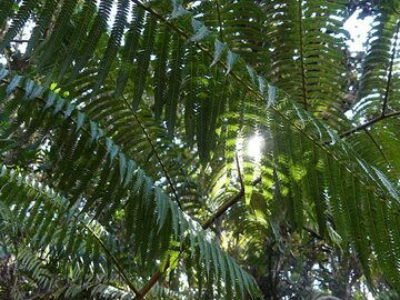 Sunlight falls through the foliage of the fern trees which are present everywhere in the rainforest vegetation around Kileaua Iki crater (Photo: Ingrid Smet)