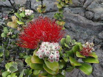 Ohia lehua is among the first trees to colonise new lava fields, its bright red blossom being a symbol for Hawaii (Photo: Ingrid Smet)