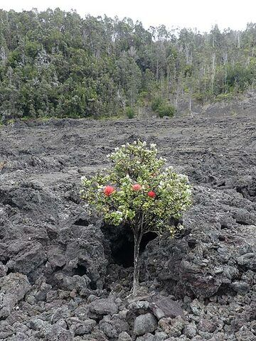 A young ohia lehua tree growing in the 1959 lava flows in the foreground and a forest of older ohia lehua trees that survived the 1959 eruption on the Kilauea Iki crater rim in the background (Photo: Ingrid Smet)