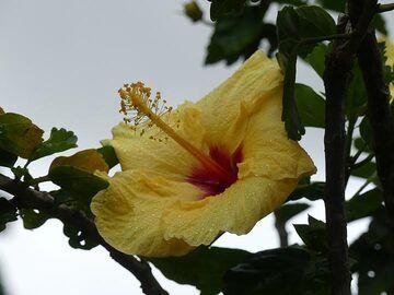 Hawaii's state flower - the yellow hibiscus (Photo: Ingrid Smet)