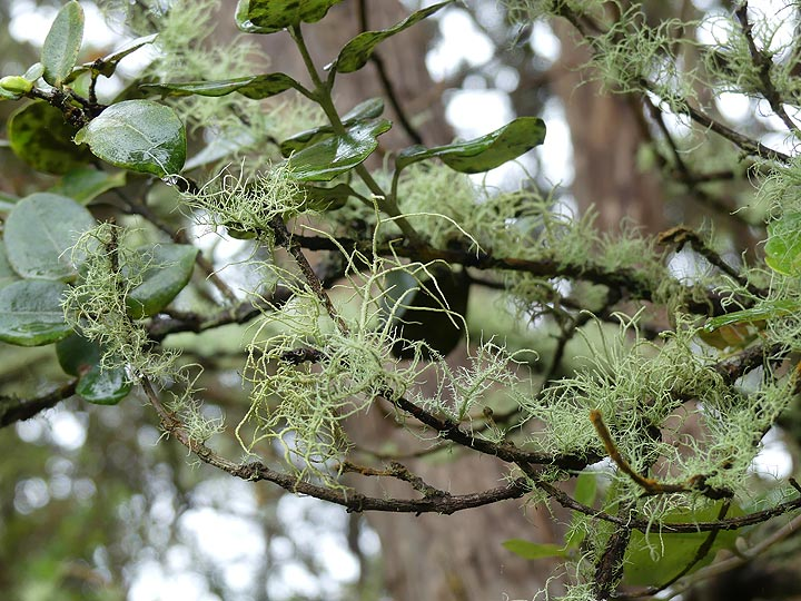 The constant high humidity and temperatures is also reflected by these lichen growing on the shrubs (Photo: Ingrid Smet)