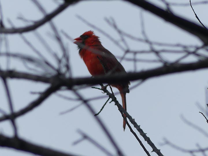 Hawaii is the home of vibrantly coloured birds such as this descendant of the finch family, a cardinal (Photo: Ingrid Smet)