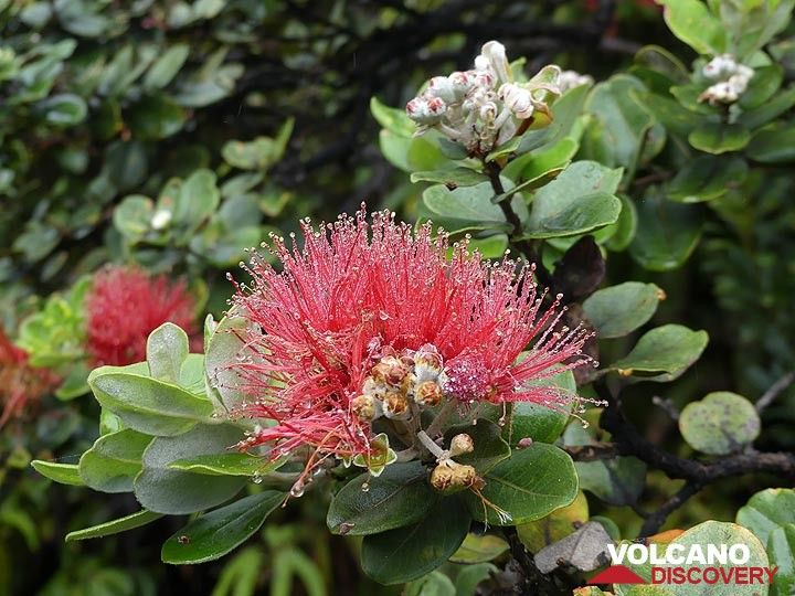 Many birds use the early hours of the day to feast on the nectar of the lehua blossoms (Photo: Ingrid Smet)