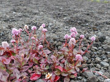 Pink flowers growing on the lava droplets that rained down from tall lava fountains during the Kilauea Iki eruption (Photo: Ingrid Smet)