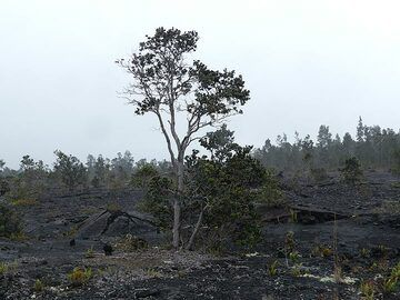 The ca 50 year old lava fields of the Mauna Ulu eruption have since been recolonised by the typical lava begetation: ohia lehua trees and ferns (Photo: Ingrid Smet)