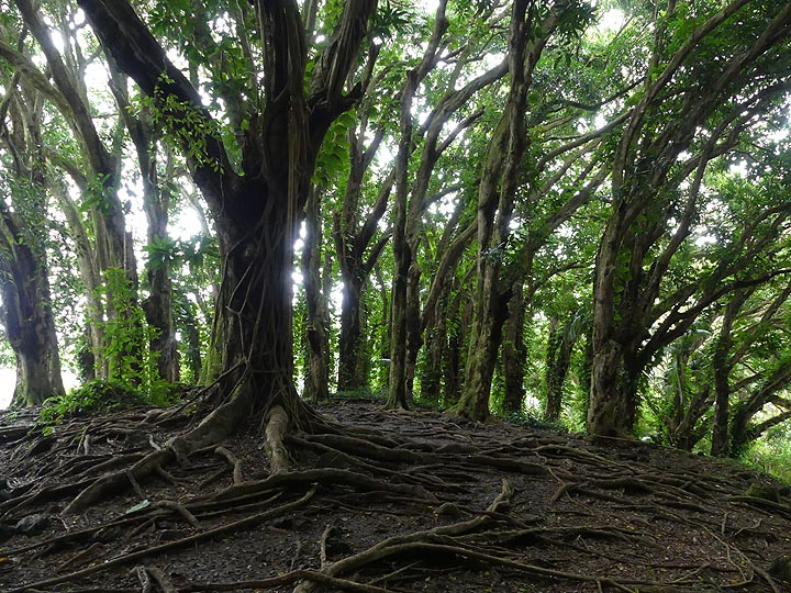 The park around Rainbow Falls also harbours these majestic trees... (Photo: Ingrid Smet)
