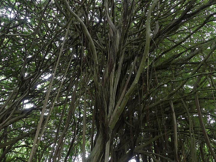 ...which have a maze of vertical branches that come down and help rooting the treese (Photo: Ingrid Smet)