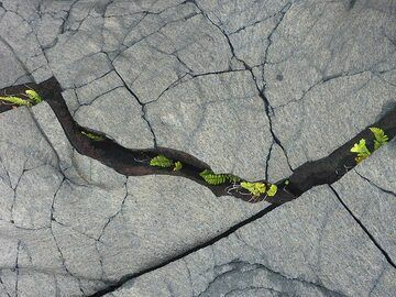 New vegetation in the lava fields: young ferns grow inside the cooling cracks of the lavas (Photo: Ingrid Smet)