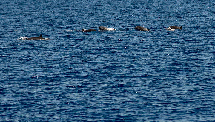 Dolphins playing in the sea during the 7 hour sailing to Komba Island. (Photo: Tom Pfeiffer)