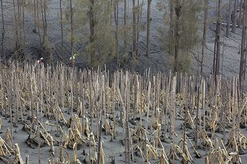 Corn field and forest covered in ash from Bromo volcano's eruption in 2010. (Photo: Tom Pfeiffer)