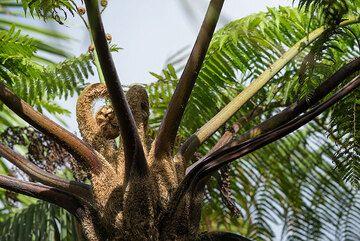 Tree fern in the rainforest of Ibu's slopes. (Photo: Tom Pfeiffer)