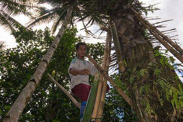 Harvesting palm tree juice. (Photo: Tom Pfeiffer)