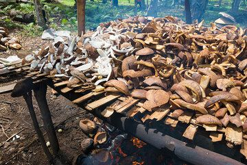 Drying of coconut over fire to produce copra. (Photo: Tom Pfeiffer)