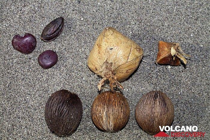 Different seeds on the beach of Rakata island. (Photo: Tobias Schorr)