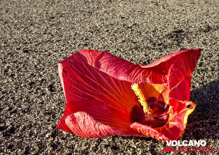 Hibiscus flower on the beach of Rakata island (Photo: Tobias Schorr)