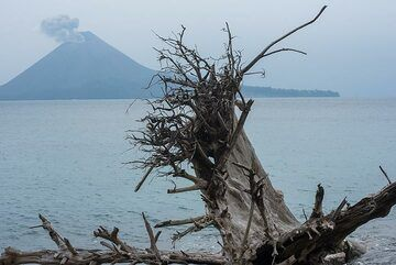 As the beach of Rakata facing Anak Krakatau erodes, many tress fall and with their roots upside they remain as bizarre sculptures on the beach for a while. (Photo: Tom Pfeiffer)