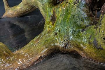 Roots of a tree with curved shapes. (Photo: Tom Pfeiffer)
