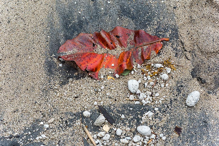 A wave has washed the leaf to shore. (Photo: Tom Pfeiffer)