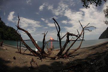 Ein großer Baum ist vor kurzem am Strand umgestürzt. Seine Wurzeln rahmen den Kegel des Krakatau bizarr ein. (Photo: Tom Pfeiffer)