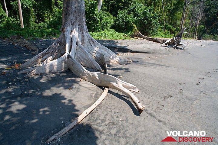 Dying tree destined to fall soon onto the beach of Rakata. (Photo: Tom Pfeiffer)