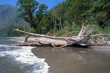 Fallen tree on the eroding beach on Rakata island. (Photo: Tom Pfeiffer)