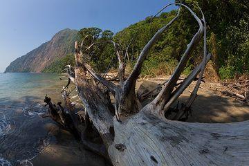 Roots of a fallen tree on the eroding beach of Rakata (Photo: Tom Pfeiffer)