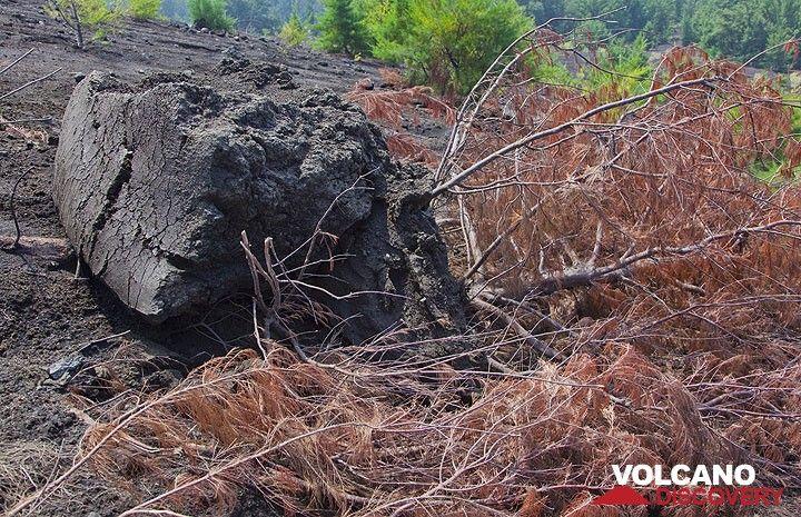 La chaleur de la bombe a séché tout que se trouve entour, mais les pines ici sur le volcan sont très résistents au feu. (Photo: Tom Pfeiffer)