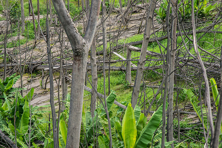 Banana trees are growing again in an area where no other trees have survived - it seems their particular structure allowed the core of the trunks to survive even hot pyroclastic surges. (Photo: Tom Pfeiffer)