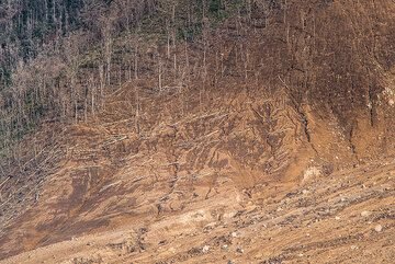 Destroyed forest on the surge zone at the lower SW flank of Sinabung. (Photo: Tom Pfeiffer)