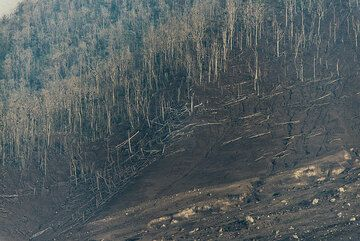 Margin of southeastern pyroclastic flow devastation zone at the foot of Sinabung. Note tree trunks knocked over by pyroclastic surges. (Photo: Tom Pfeiffer)